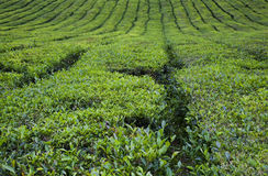 Tea Fields Royalty Free Stock Photography