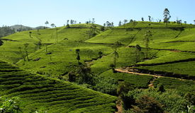 Tea fields. Tea fiels as seen in sri lanka, in the neighbourhood of nuwara-eliya Royalty Free Stock Photos
