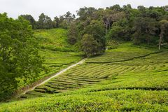 Tea fields Royalty Free Stock Photography
