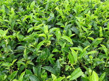 Close up of tea plants Stock Photography