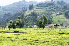 Tea fields. Beautiful tea fields in Rwanda Royalty Free Stock Photo