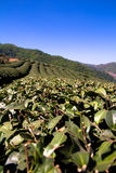 Tea Fields at The Choui Fong field , Chiang Rai, Thailand. It's so beautiful fields stock images