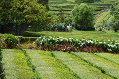 Tea fields in the Faial island. Azores Stock Images