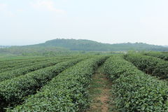 Tea Fields Stock Photo