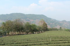 Tea Fields Royalty Free Stock Photos