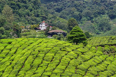 Tea fields on the hill in Cameron Highlands, Malaysia Royalty Free Stock Photos