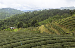 Tea Fields in Mae Salong Chiang Rai, Thailand Royalty Free Stock Photography