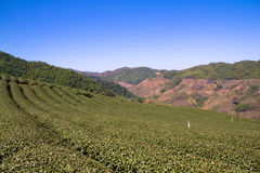 Tea Fields and Mountain View at The Choui Fong field , Chiang Rai, Thailand. It's so beautiful fields stock photography