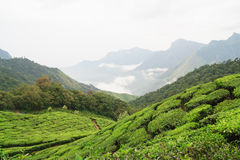 Tea fields and mountains in munnar Royalty Free Stock Image