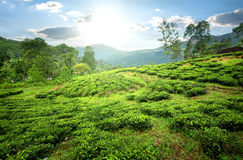 Tea fields in mountains Stock Photos
