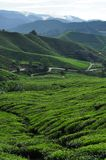 Tea fields with mountains. Tea fields in a tea plantation in Malaysia, mountains in the background Stock Photography