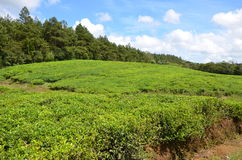 Tea fields 1. Tea fields near Bois Chéri town, Mauritius Stock Photo