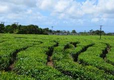 Tea fields 2. Tea fields near Bois Chéri town, Mauritius Stock Photos