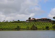 Tea fields 3. Tea fields near Bois Chéri town, Mauritius Stock Image