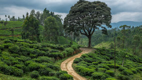 Tea fields Stock Photography