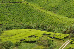 Tea fields. In a tea plantation in Malaysia Royalty Free Stock Image