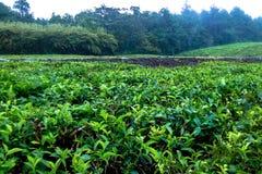Tea fields, plantation in Mauritius. Beautiful landscape of tea fields, plantation in Mauritius Royalty Free Stock Image