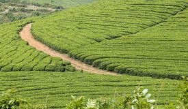 Tea Fields in Spring Stock Photo
