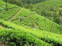 Tea plants on a plantation Stock Images