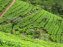 Tea plants on a plantation Royalty Free Stock Image