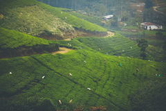 Tea fields in Sri Lanka. Tea pickers on green tea fields in SriLanka, Nuwara Eliya Royalty Free Stock Images