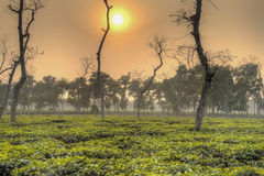 Tea fields in Srimangal, Bangladesh Royalty Free Stock Photo