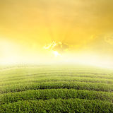 Tea fields and Sun Sky for background in Northern Thailand Stock Image