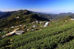 Tea fields in Taiwan. Tea farming in Taiwan. Hillside tea plantations in Shizhuo, Alishan mountains royalty free stock photography