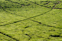 Tea Fields Royalty Free Stock Images