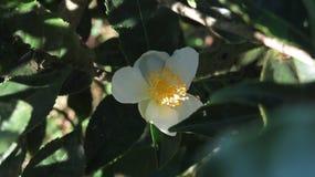 Tea flowers stock image
