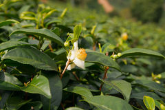 Tea flowers and fresh leaves. Stock Images