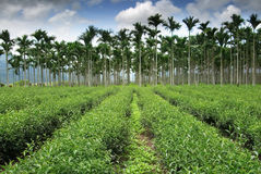 Tea fram road toward areca Stock Photos