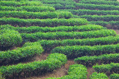 Tea garden Royalty Free Stock Photo