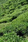 Tea Garden. Tea plants grown on incline of mountain slope in Darjeeling, West Bengal, India, Asia Stock Photography