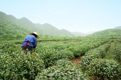 Tea garden Stock Images