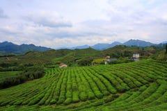 Free Tea Garden Stock Images - 21614264