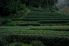 Tea garden Royalty Free Stock Images