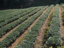 Tea garden Stock Photography