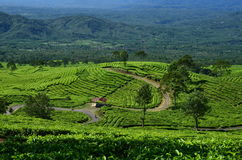 Tea garden Stock Photo
