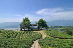 Tea garden Stock Photo