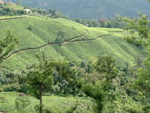 Tea Garden. Munnar, India Royalty Free Stock Photos