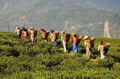Tea garden. Woman at work in a tea garden, sikkim stock photography
