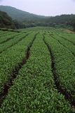 Tea garden. Of china stock photo