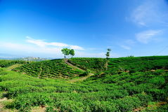 Tea garden. And blue sky stock images