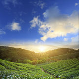 Tea garden. For adv or others purpose use stock images