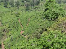 Tea garden awesome view from top of hills with trees group. This snap is from tea ooty india. Awesome tourist place that you always love that is so awesome Stock Image