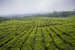 Tea Garden Stock Photography