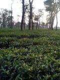 Tea garden Royalty Free Stock Image