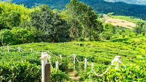 Tea garden with beautiful landscape background. Tea garden beautiful landscape background stock photo