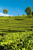 Tea garden with blue sky Royalty Free Stock Photo